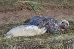 Grey Seal Pup Suckling / Feeding, - stock photo