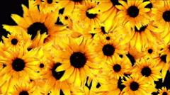 4k Daisy wedding background,wildflower flower plant bloom pattern,vitality. Stock Footage