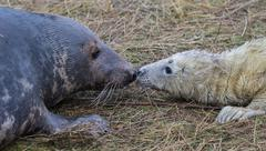 Grey Seal Cow and Pup. Stock Photos