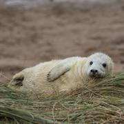 Grey Seal Pup in Grass Dune. - stock photo