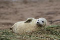Grey Seal Pup in Grass Dune. Stock Photos