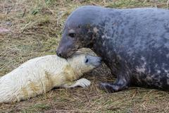 Grey Seal Cow and Pup. - stock photo