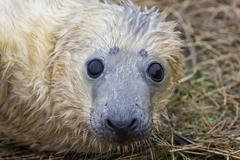 Stock Photo of Grey Seal Pup in Grass Dune.