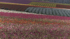 Carlsbad California Ranunculus Field Stock Footage
