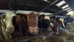 Close up dolly shot of mixed breed happy content cattle cows in barn 4k Stock Footage