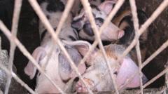 Animal Pig Farm Handheld Camera  - stock footage