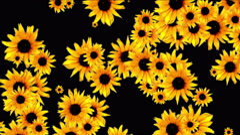 Stock Video Footage of 4k Daisy wedding background,wildflower flower plant bloom pattern,vitality.