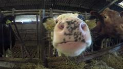 Silly crazy young cattle cow trying to lick the camera inside barn 4k Stock Footage