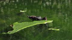 Muscovy Duck Eating Algae Stock Footage