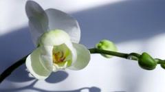 Orhidea Orchidaceae time lapse Stock Footage