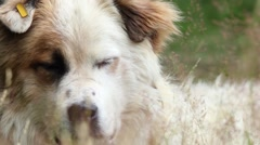 Close-up of a great white dog, seen through the herbs in the wind Stock Footage