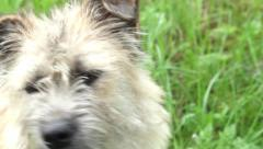 Stock Video Footage of Close up of a white puppy furry and fluffy sitting in the grass