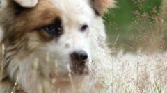 Close-up of a great white dog seen through the herbs in the wind  Stock Footage
