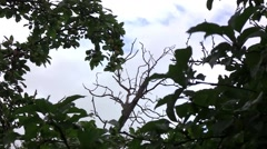 Dry bare branches without leaves and leaves in the wind. Blue sky fluffy  - stock footage