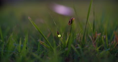 Male and female common eastern firefly mating in grass, second male nearby. - stock footage
