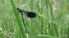 Dragonfly, insect predators characterized by an elongated body, agile flight 1 Stock Footage