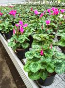 Cyclamen flowers in a garden center Stock Photos