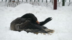 Goose and snow in Russia Stock Footage
