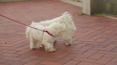 Two dogs on a leash getting acquainted, people enjoying walk with their pets Stock Footage
