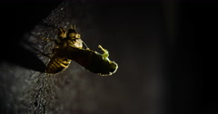 Molting cicada emerging from shell at night. Stock Footage