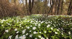 white spring flowers - stock photo
