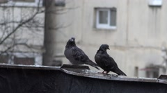 Two pigeons resting in the rain Stock Footage