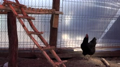 Hen in shelter Stock Footage