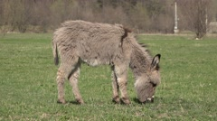 Cute little furry donkey grazing on green meadow Stock Footage