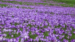 Natural carpet of crocus flowers on alpine meadow Stock Footage