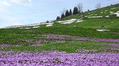 Stock Video Footage of Mountain valley covered by crocus flowers