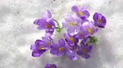 Close-up of crocus flowers in the snow - stock footage