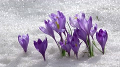 Crocus flowering from the snow, early spring Stock Footage