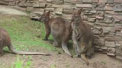 Kangaroo family at the Zoo Stock Footage