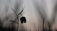 Close up silhouette of fritillary flower Stock Footage