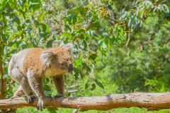 Australian Koala on a branch Stock Photos