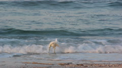Heron hunting for fish on the sea shore Stock Footage