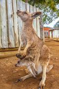 Kangaroo with baby Kuvituskuvat