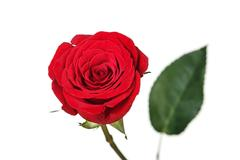 Saturated red perfect rose - stock photo