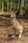 Australian Red Kangaroo Stock Photos