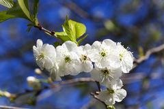 Cherry blossom ,  spring. Stock Photos