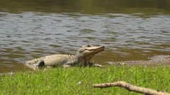 American Alligator on the Shore Stock Footage