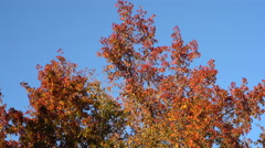 Motion Control Tracking Shot of Maple Tree Fall Foliage Stock Footage