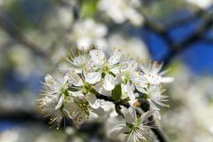 cherry ,  spring season - stock photo