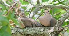 Mourning dove pair sitting on branch. Stock Footage