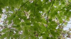 Maple Leaves Breeze Gust - 4k - stock footage