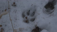 4k Coyote Paw Print In Snow Wild Animal Footprint Winter Wildlife Stock Footage