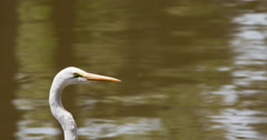 Great egret in front of water, raises head. Stock Footage