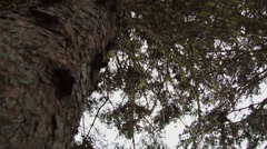 Lichen in a Mature Spruce Tree Stock Footage