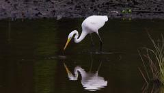 Great egret dips head into water and catches a small fish. Stock Footage