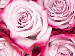 beautiful fragrant flowers pink roses - stock photo